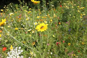 Blumenwiese in Lichtenau